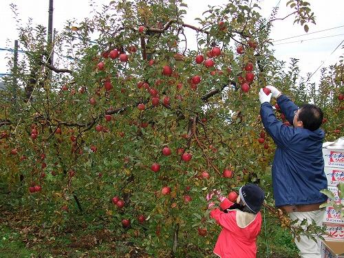 小雨の中 主人と娘がりんごをとっています